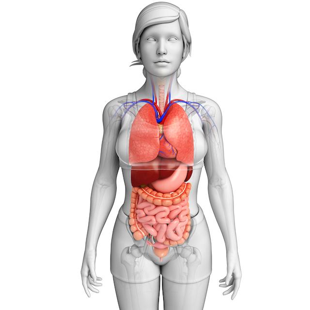 Abdominal Organs by Carol Gray at MamaSpace Yoga